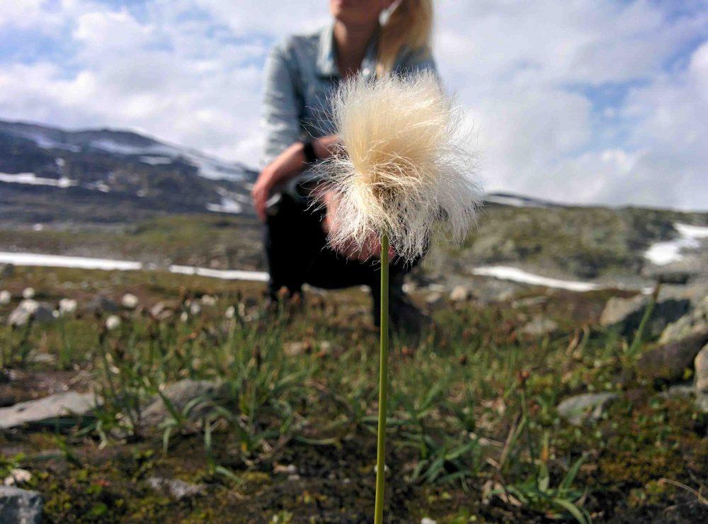 Nationaal Toeristische Routes - Myrull plantjes langs Aurlandsvegen