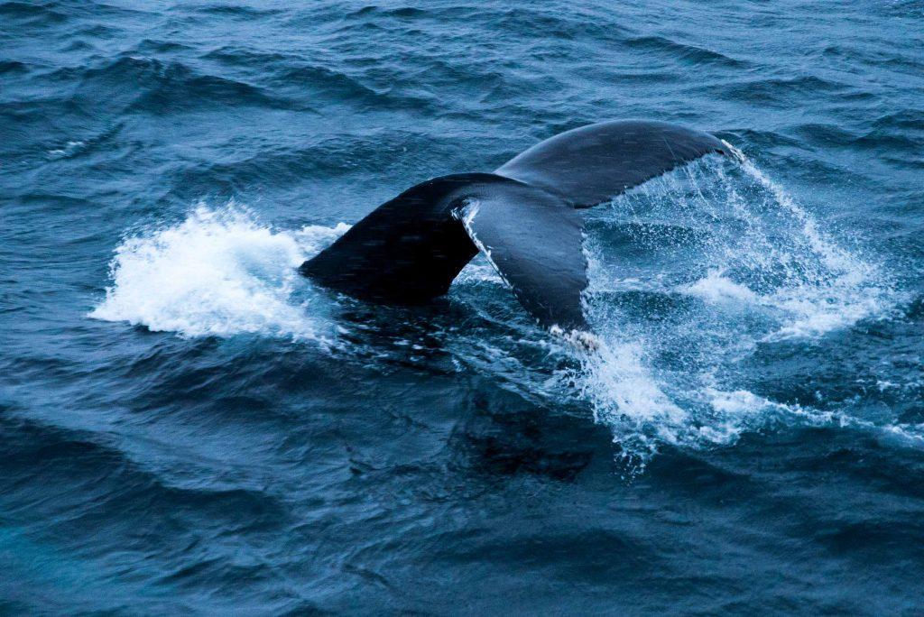 Walvissenstaart in het water nabij Tromsø