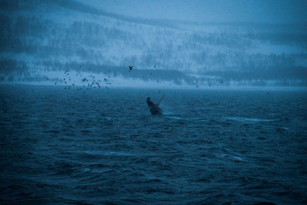 Springende walvis in de winter in Tromsø