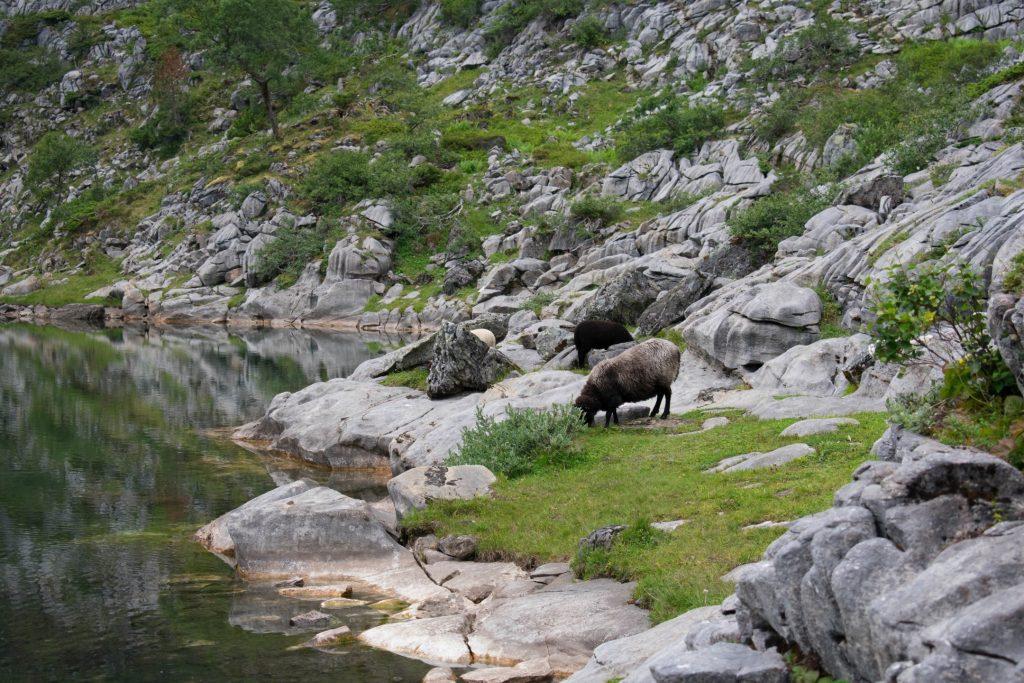 Schapen grazen langs het Trollvatnet in Noorwegen